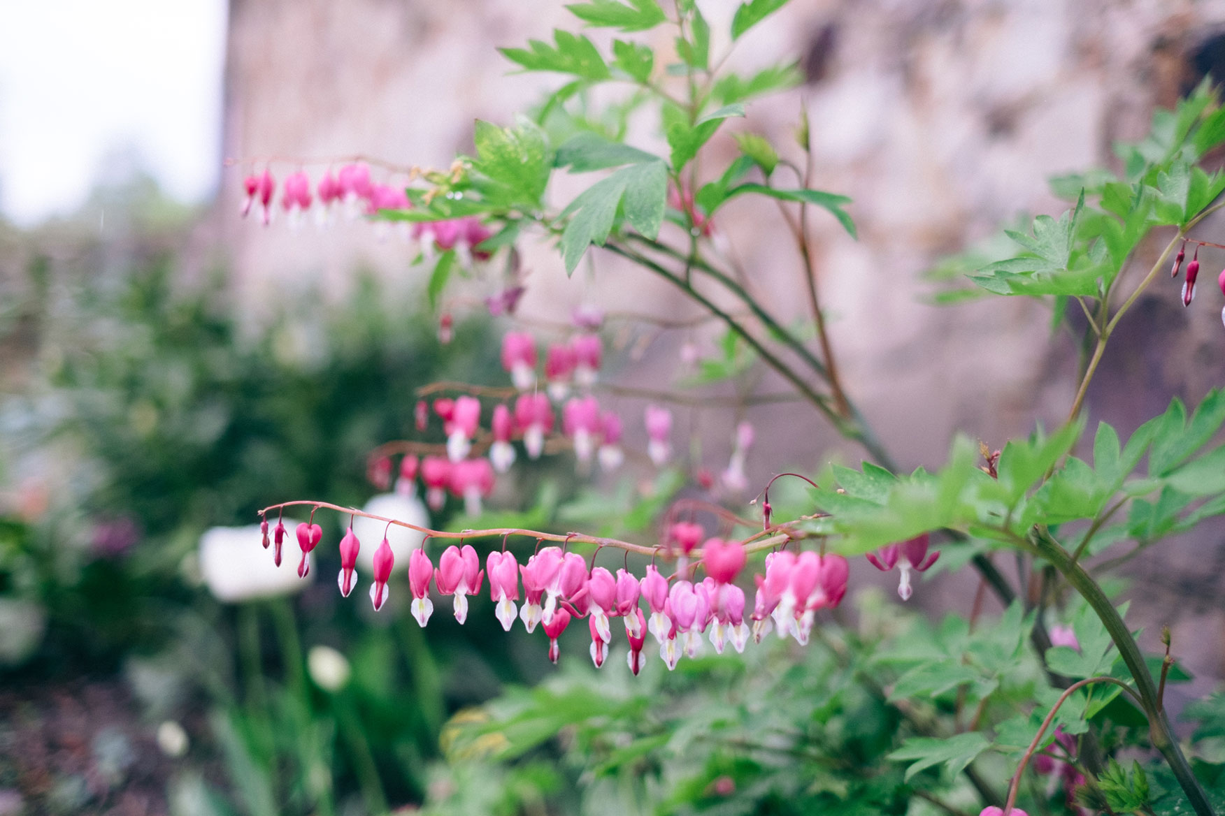 dicentra-detail